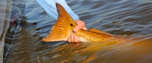 Tailing-Redfish-Release